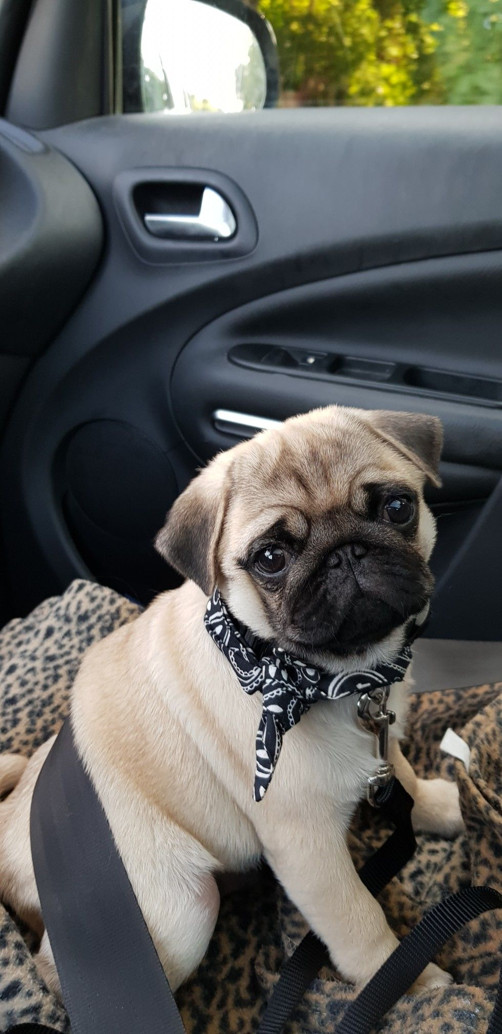 Precious Face Pug Fever Pinterest Pugs Animals And Dogs