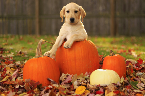 Lab Puppies And Pumpkins