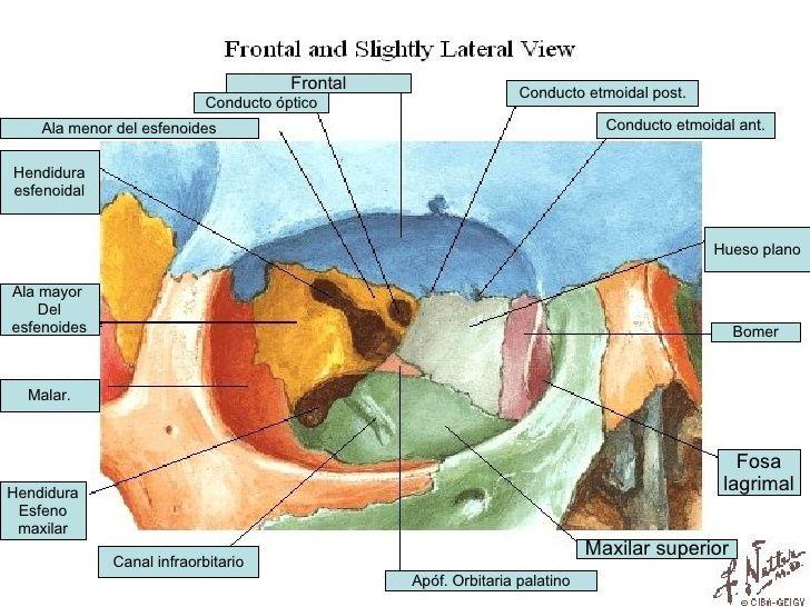 Resultado de imagen de orbita ocular | Eyes | Pinterest | Anatomy
