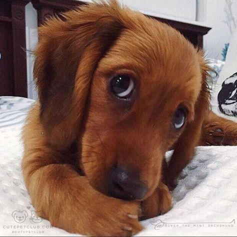 Photo of Dachshund Puppy Eyes👀🐶
