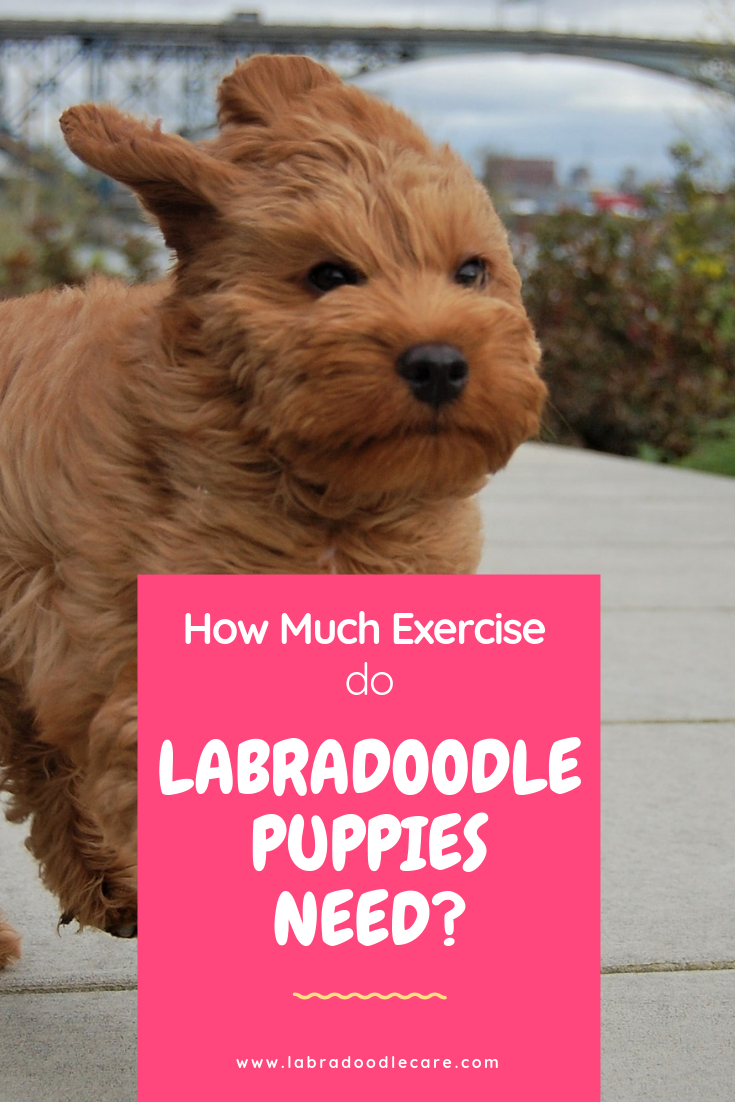 I Know Exactly How You Feel You Re Considering A New Labradoodle Puppy Or You Already Have Him And You Think How Much Exercise Does Th Labradoodle Puppies Australian Labradoodle