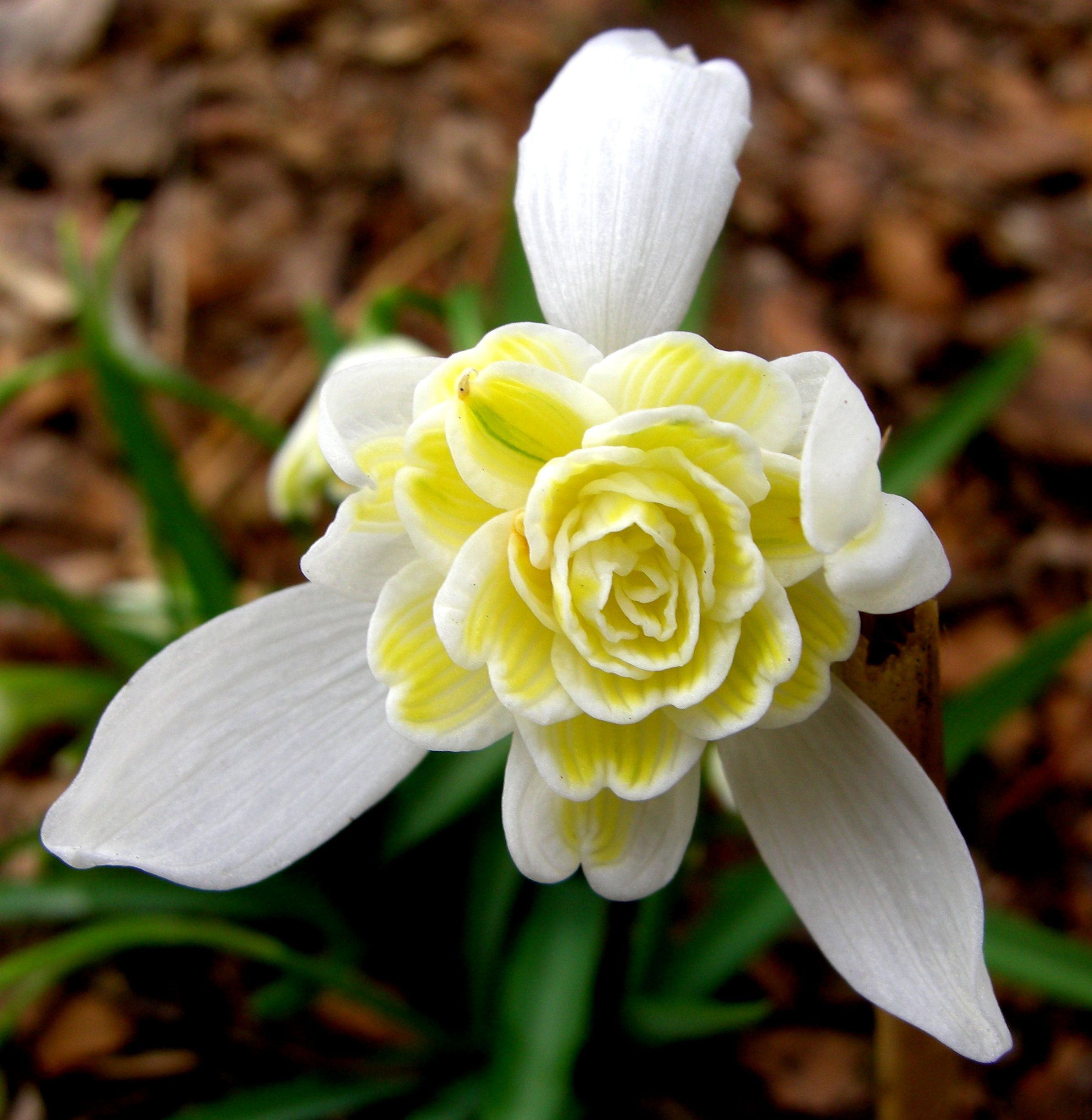 Lady Elphinstone Is The Only Double Yellow Description From Carolynsshadegardens Com I Searched For This On Bi Rare Flowers Bulbous Plants Beautiful Flowers