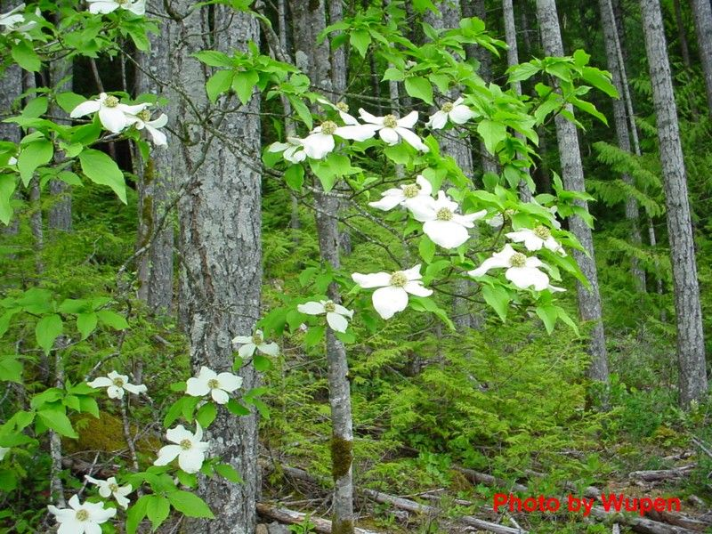 pacific dogwood google search