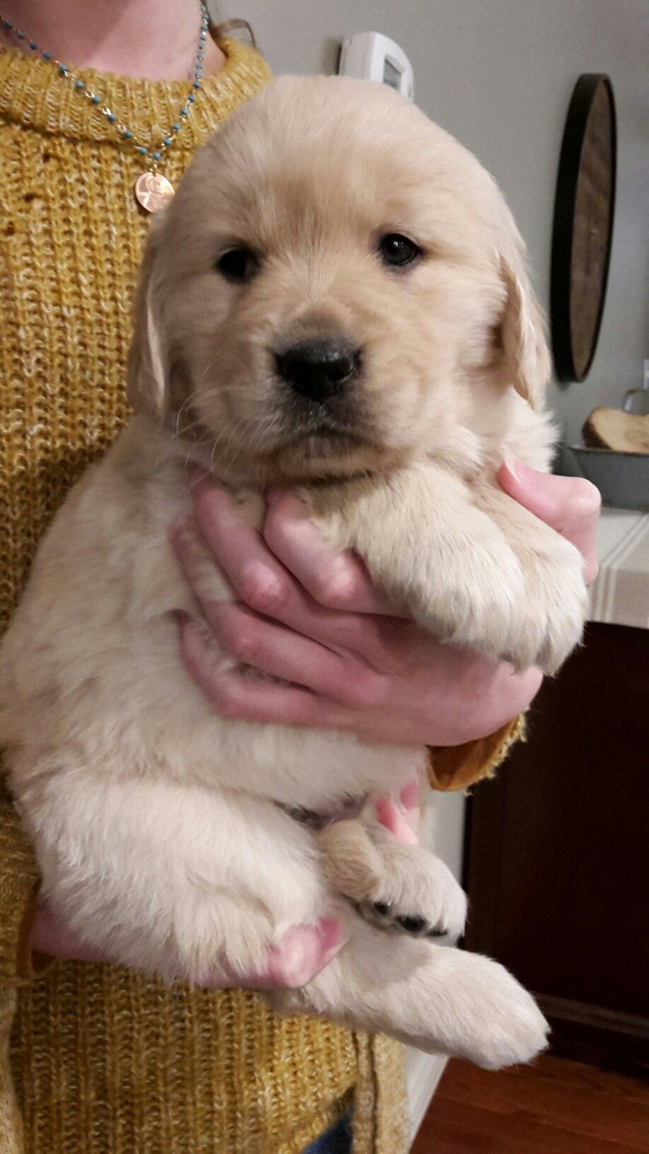 Hytop Goldies Akc Registered Golden Retriever Puppies Cute Baby