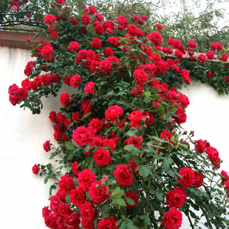 50 Red Rose Tree Seeds,gorgeous Bright Colored, DIY Home Garden Potted ,