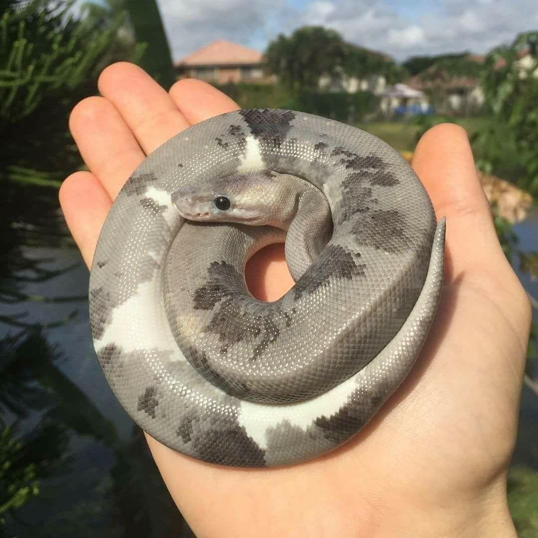 Pin Von Anna Auf Amphibien Reptilien Schlangen Haustier Schlange Exotische Haustiere
