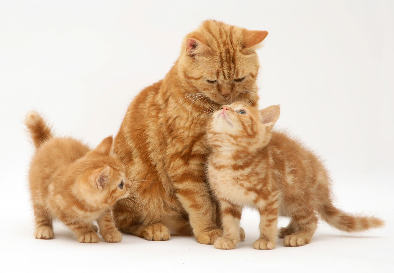 Mother S Day Animals American Shorthair Cat Cats And Kittens