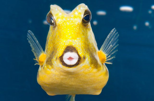 longhorn cowfish this fish displays a unique behavior of blowing into the sand of the