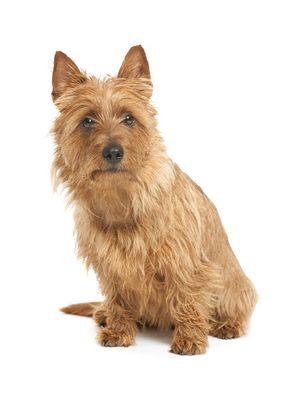 Australian Terrier #dogs #animal #australian  #terrier