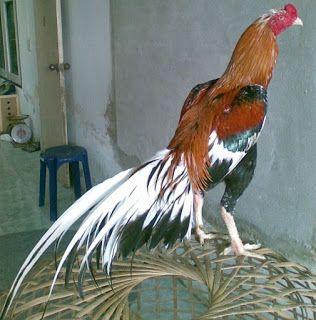 880+ Gambar Binatang Ayam Jago Gratis Terbaru