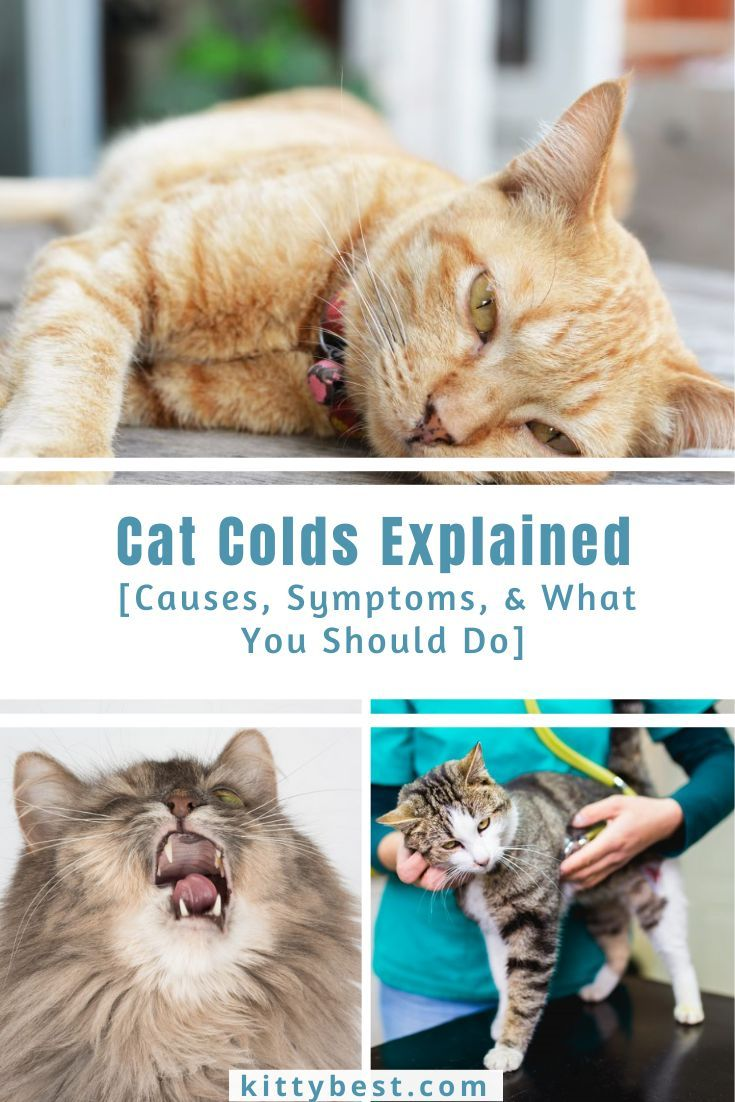 Cat Colds Explained [Causes, Symptoms, & What You Should
