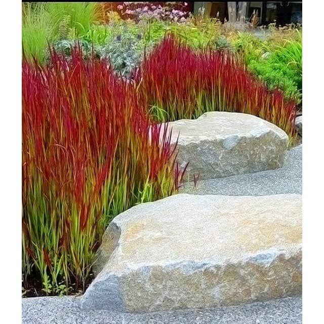 Ziergras 39 red baron 39 3 pflanzen baldur garten gmbh for Garten pflanzen idee