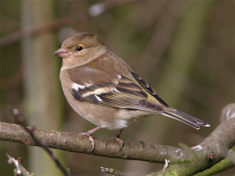 Female Chaffinch. I still find them very pretty, even though they are not as colourful as the males :-)