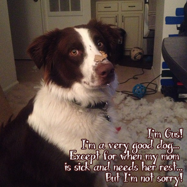 I'm Gus! I'm a very good dog…Except for when my mom is sick and needs her rest…But I'm not sorry!