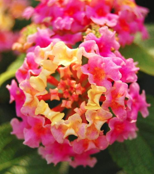 Lantana, a flor arco-íris! # flower # colourful ...