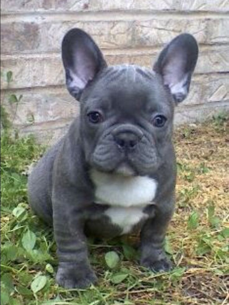 Blue French Bulldog Puppy French Bulldog Puppies Puppies Bulldog Puppies