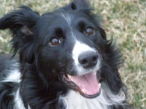 Adopt Sweet Chloe On Dogs Collie Rescue Collie Mix