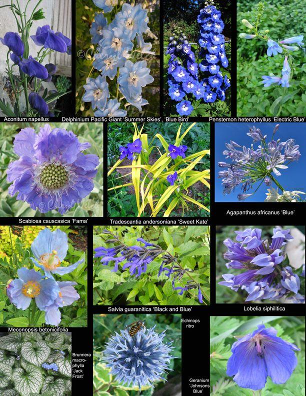 Perennial Flowers Blue