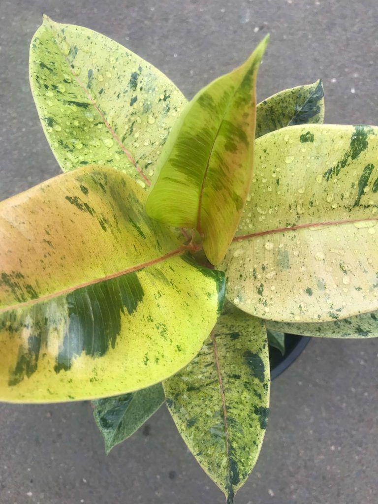 Ficus elastica shivereana in 2020 ficus ficus elastica