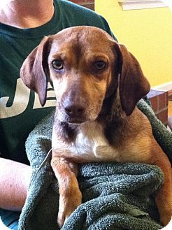 Aylett Va Dachshund Beagle Mix Meet Biscuit A Dog For Adoption