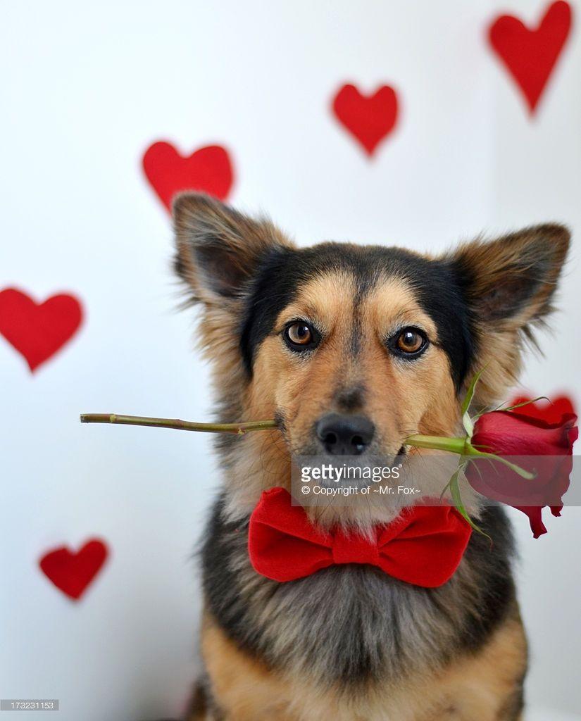 Happy Valentine S Day Dog Valentines I Love Dogs Animals