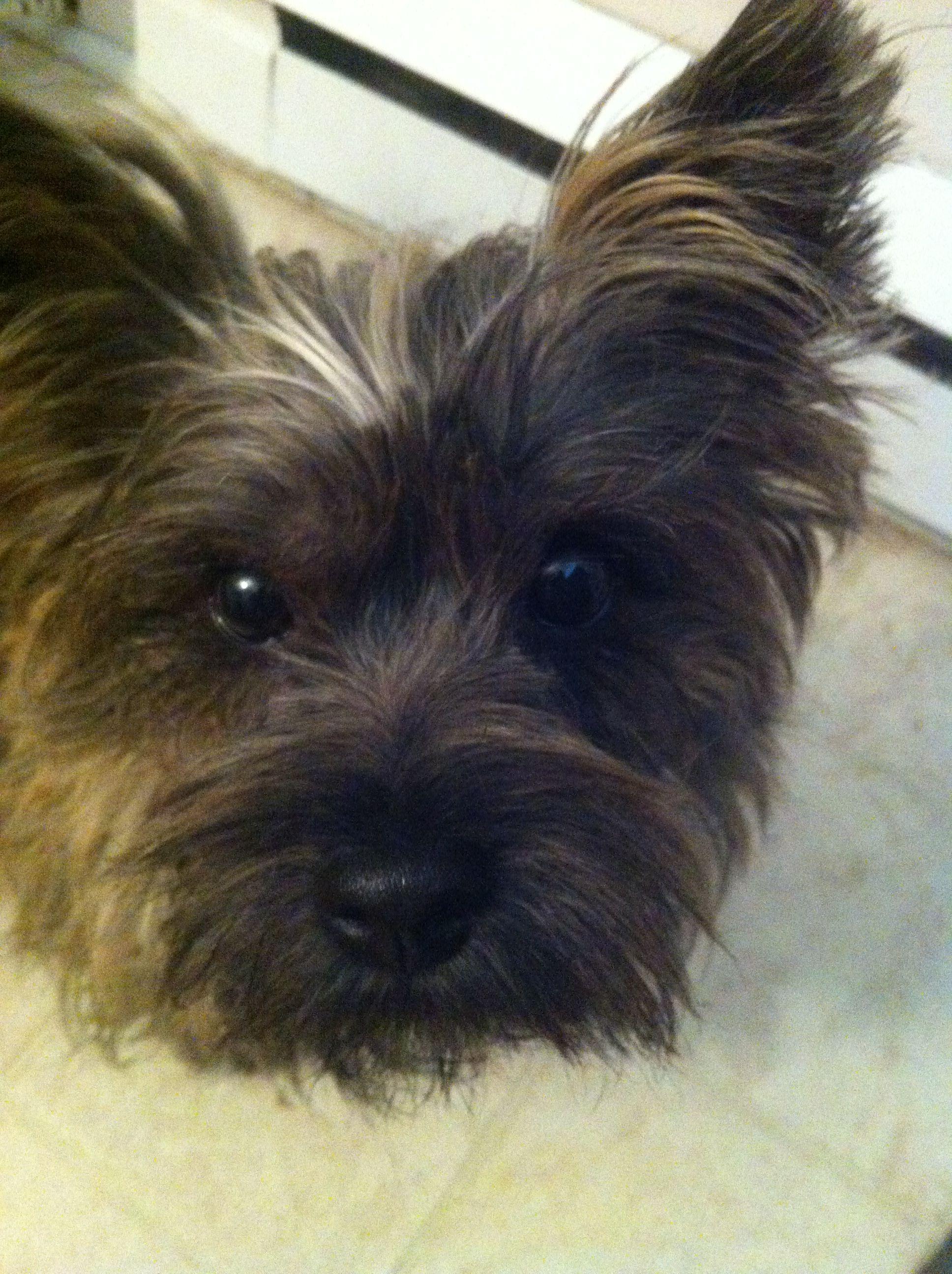 Pin By Terri Borkgren On Cairn Crazy 4 Cairn Terrier Terrier Dogs