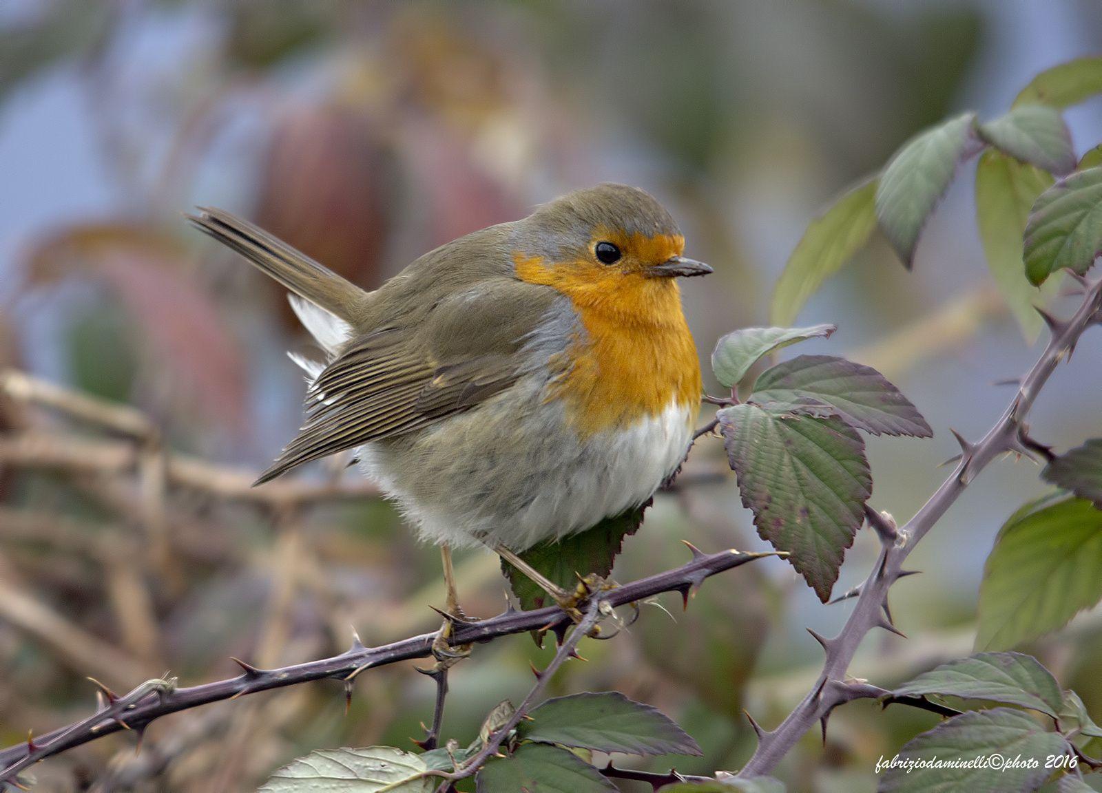 Robin - mano libera - freehand