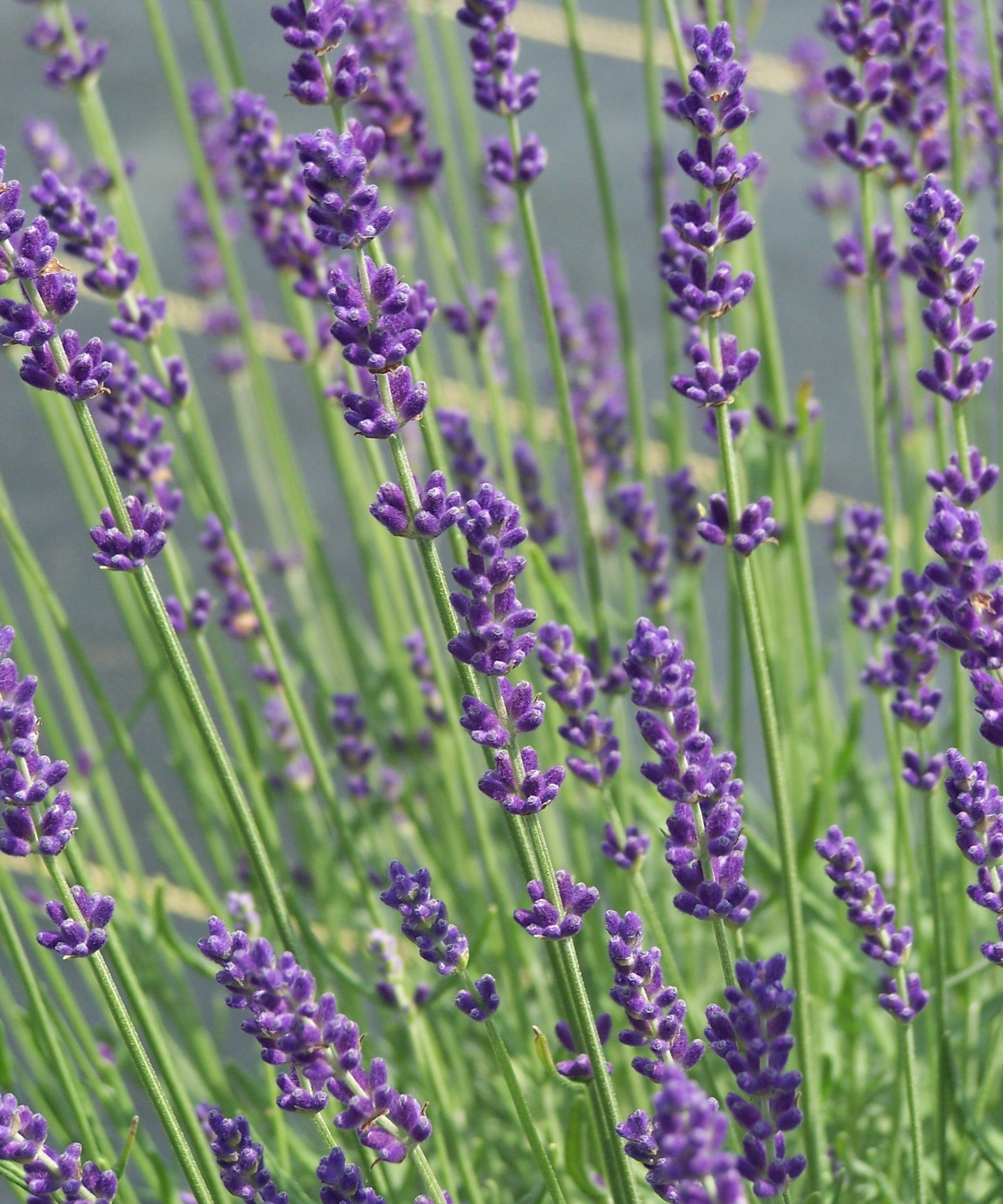 New jersey monmouth county morganville - Pleasant Valley Lavender Farm Morganville Nj Bring Your Dog And Relax