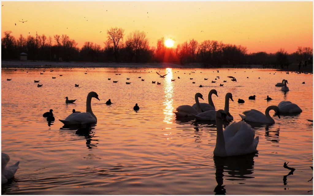 The White Swan Birds In Lake Sunset Wallpaper The White Swan Birds In Lake Sunset Wallpaper 1080p The White Swan Birds In Lake Sunset Wallpaper Desktop The
