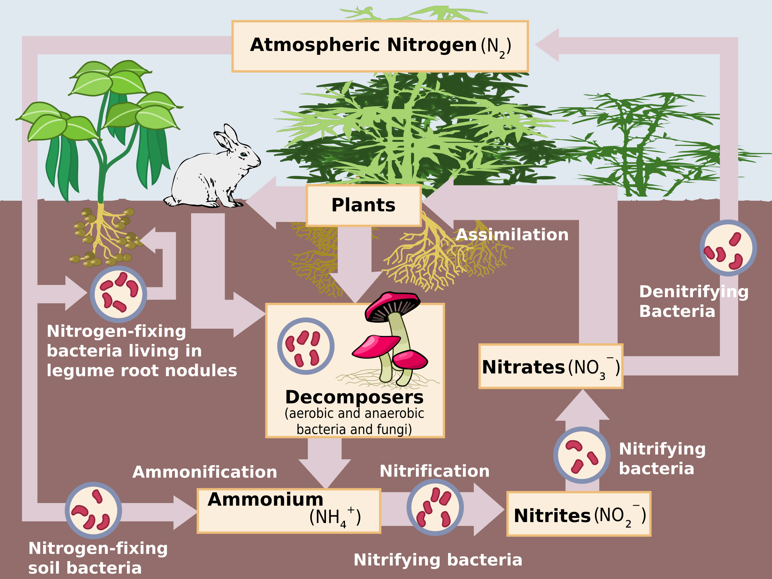 Schematic Representation Of The Nitrogen Cycle Abiotic Nitrogen Fixation Has Been Omitted