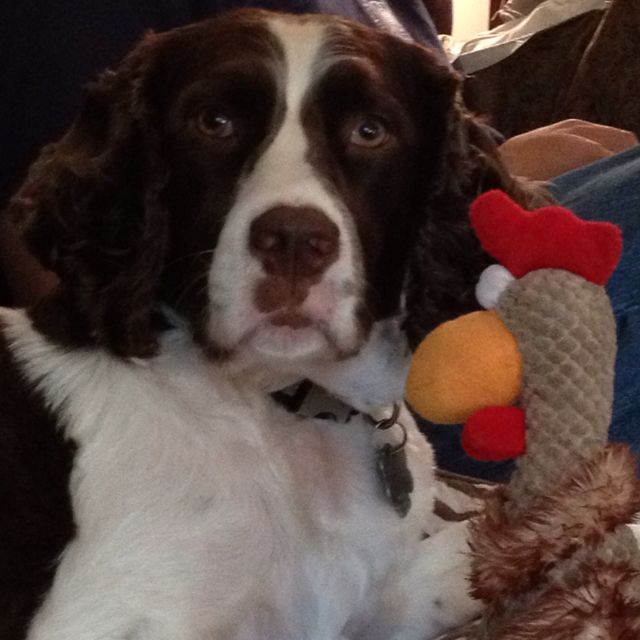 Springer Spaniel Conversations With His Chicken Springer Spaniel Puppies Springer Spaniel Spaniel