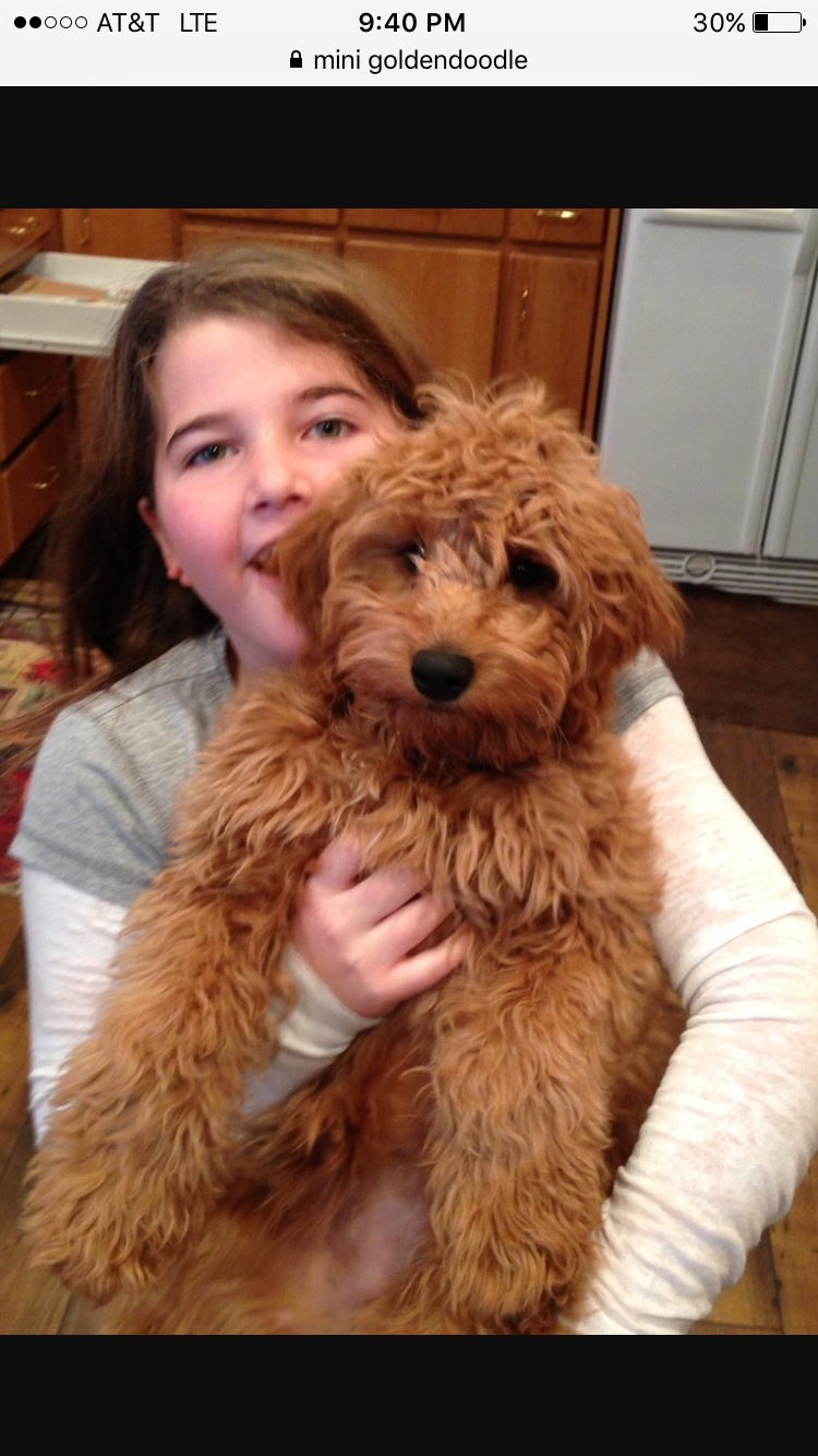 Golden Doodle Puppy Jesse Is So Cute He Is A Miniature Golden Doodle Goldendoodle Puppy Goldendoodle Red Goldendoodle