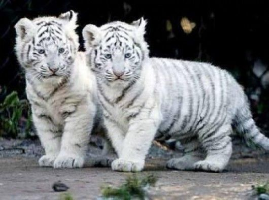 39f43ae55 Siberian Tiger cubs. | Wild Kingdom | Baby tigers, White tiger cubs ...