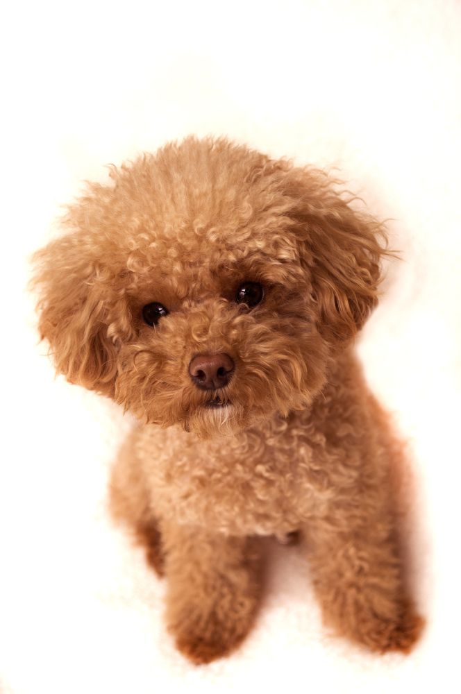 Toy Poodle Puppy! http://www.localpuppybreeders.com/toy-poodle-dog-breed-information/