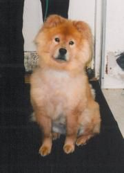 Nala Is An Adoptable Chow Chow Dog In Cleveland Oh Dog Adoption Chow Chow Dogs Pet Adoption
