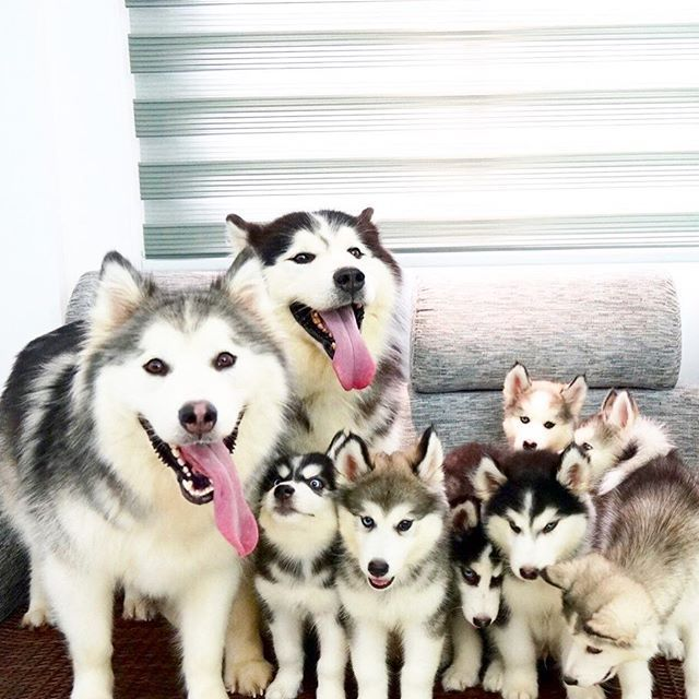 Happiness Is A Home Full Of Huskies Cute Animals Beautiful