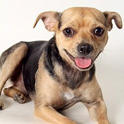 Los Angeles Ca Chihuahua Meet Gizmo A Dog For Adoption