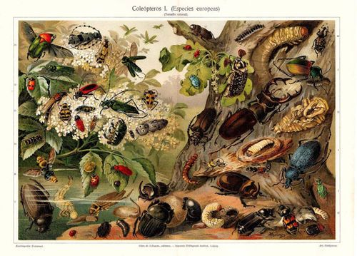 Coleópteros europeos