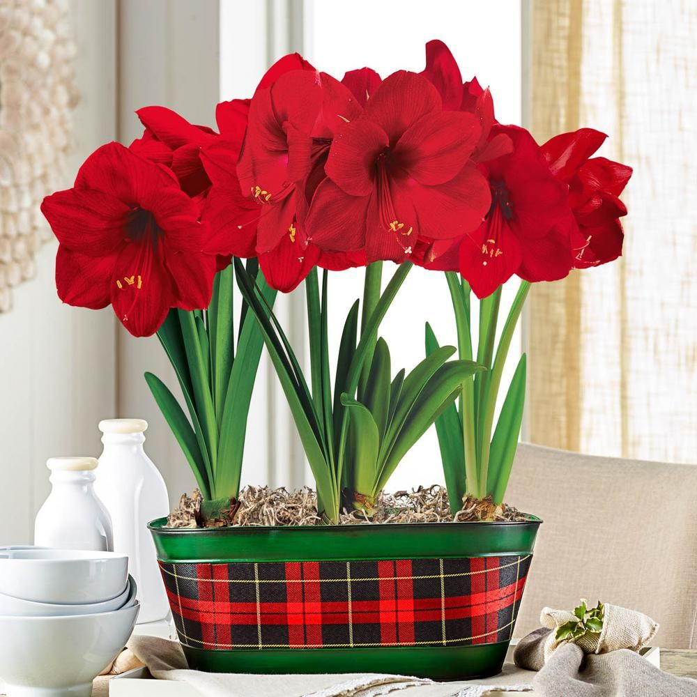 Breck S Miracle Amaryllis Hippeastrum Bulbs With 15 In W Decorative Plaid Planter 3 Bulbs 1 Pot 60653 The Home Depot Red Amaryllis Amaryllis Amaryllis Plant