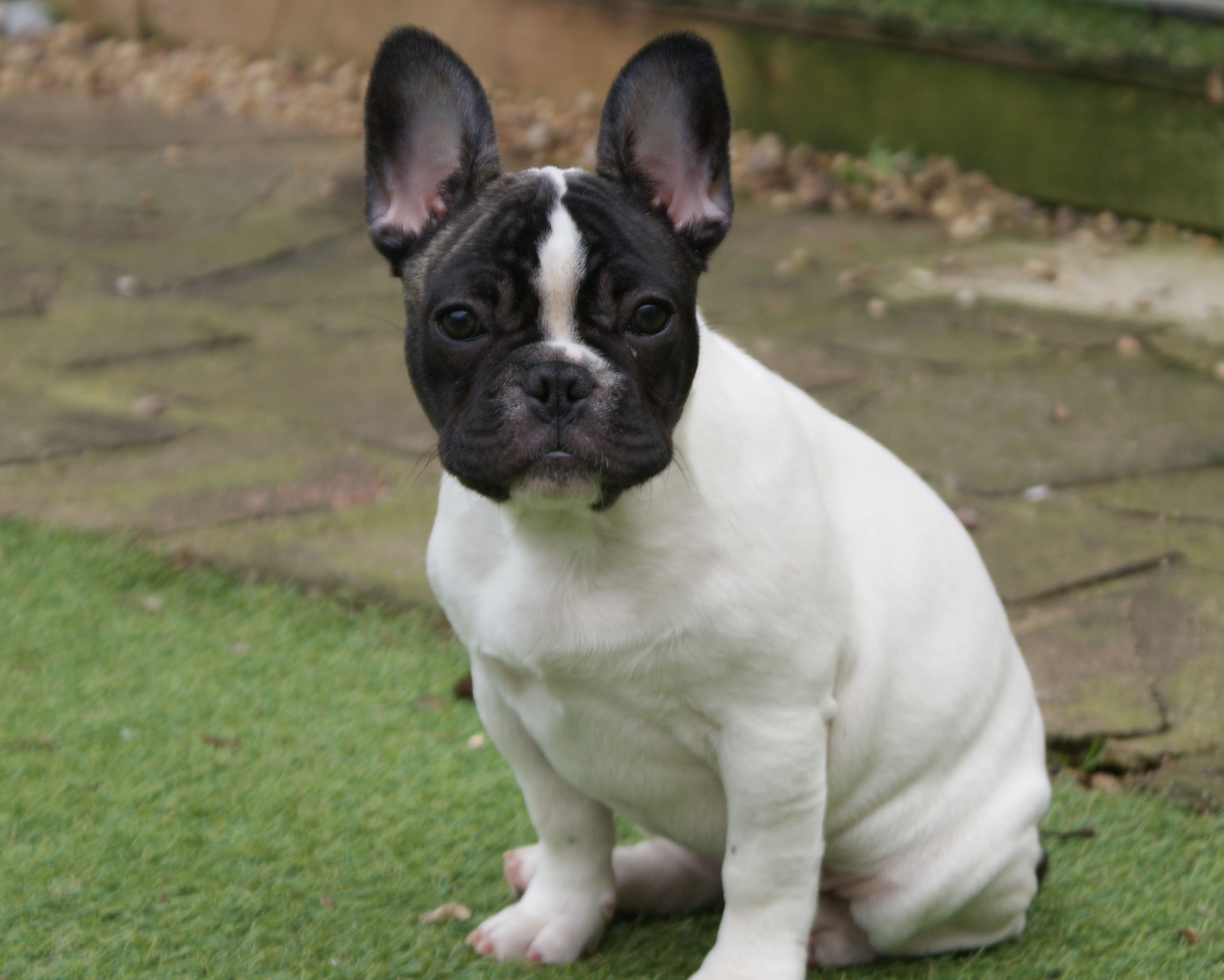 French Bulldog Boston Terrier Mix Hd Wallpaper For Desktop Bulldoggen Mix Ebay Kleinanzeigen A In 2020 Pitbull Terrier Puppies French Bulldog Mix French Bulldog Dog