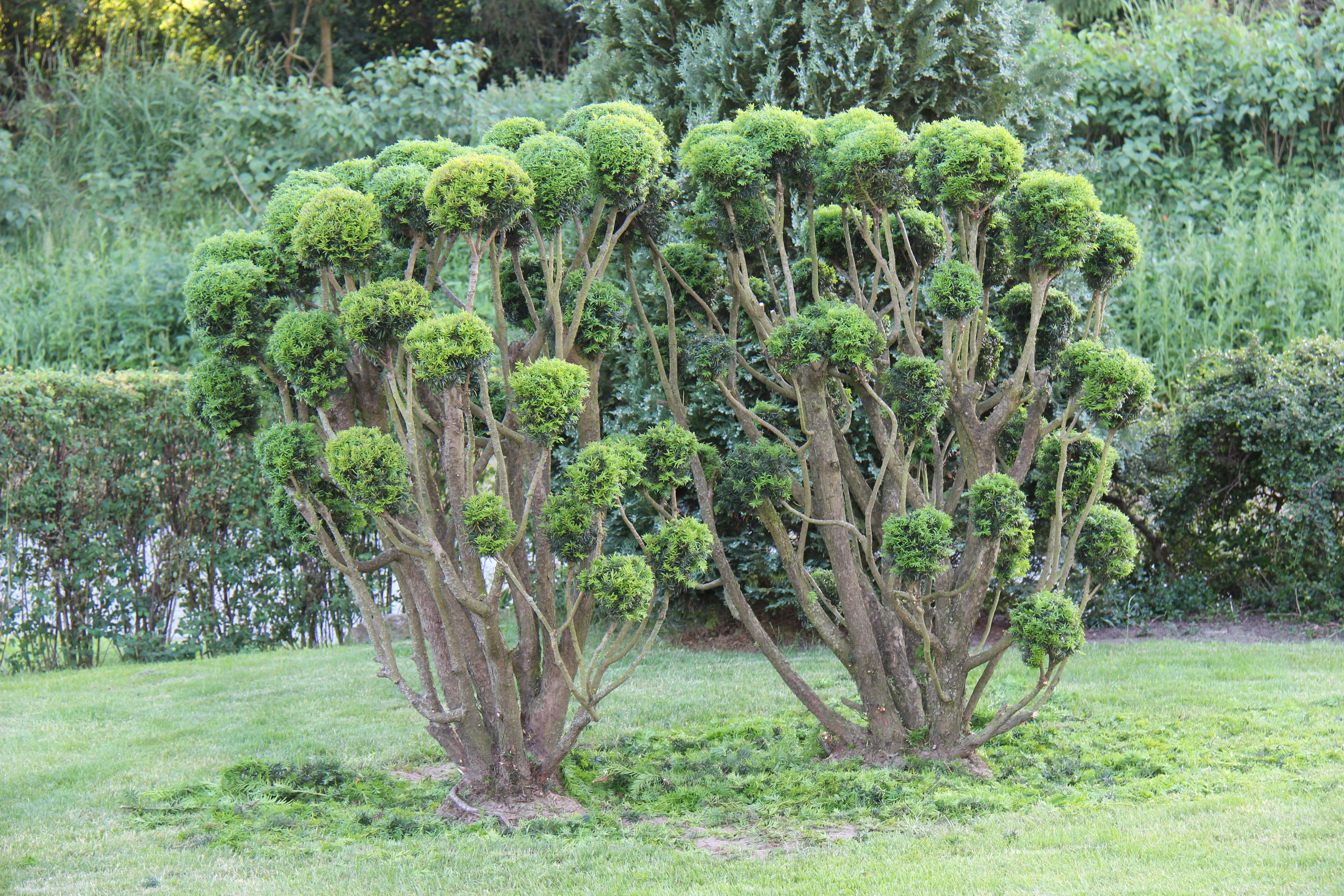 Vores smukke træ