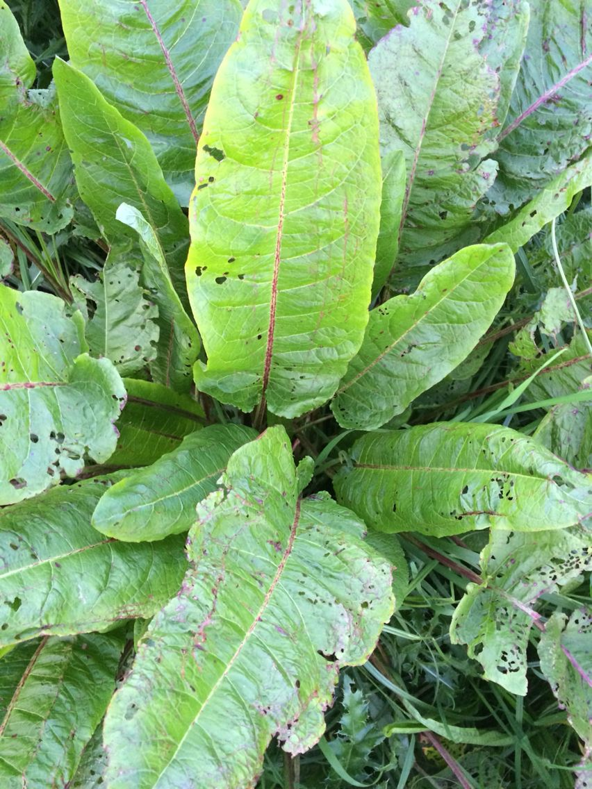 Rumex les oseilles est un genre de plantes herbac es for Plante 9 feuilles