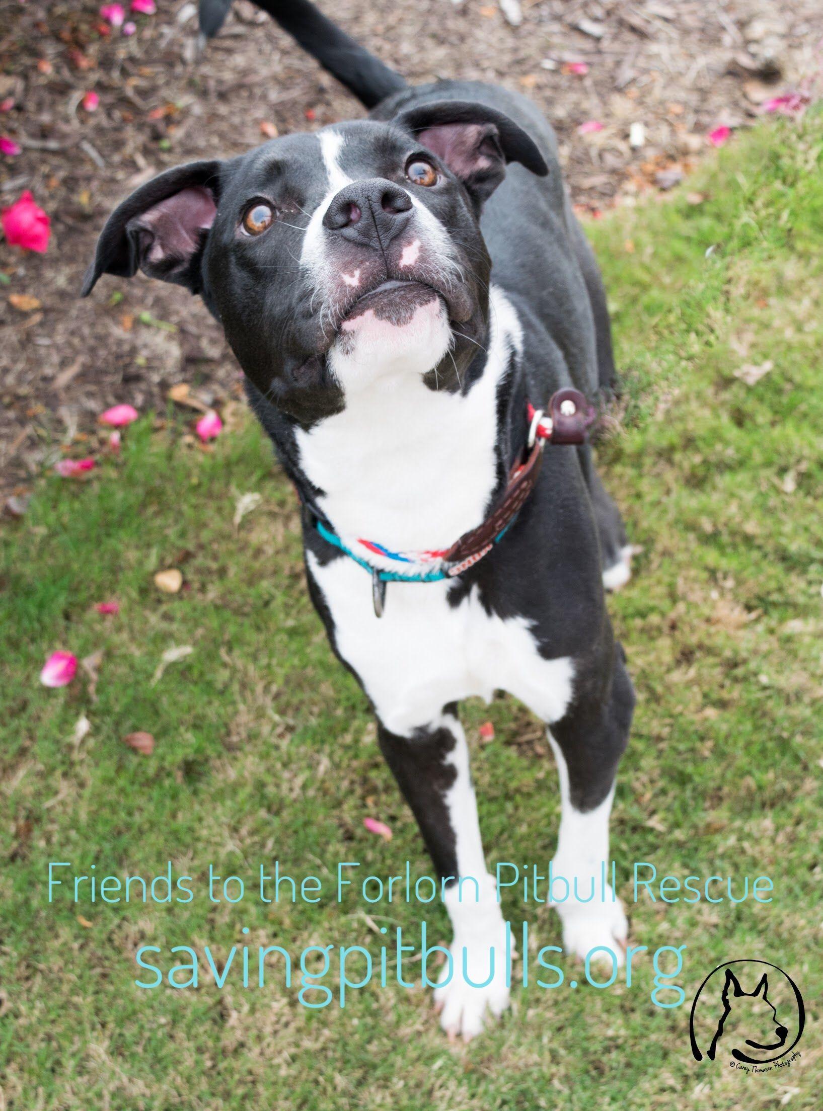 Adopt A Bulls Pitbull Terrier Adoption Mixed Breed