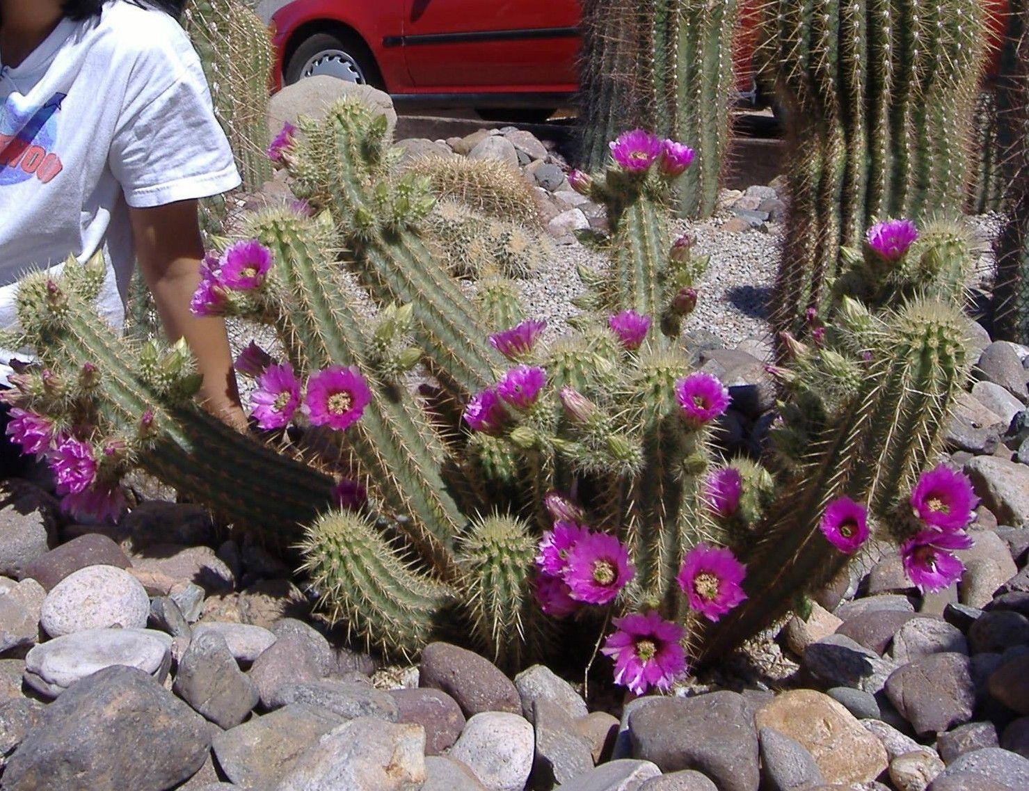 10 seeds ECHINOPSIS Echinopsis bertramianus