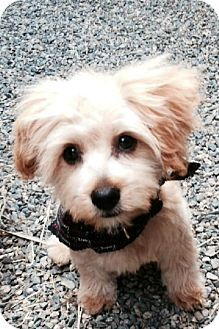 Gilbert Az Yorkie Yorkshire Terrier Poodle Miniature Mix
