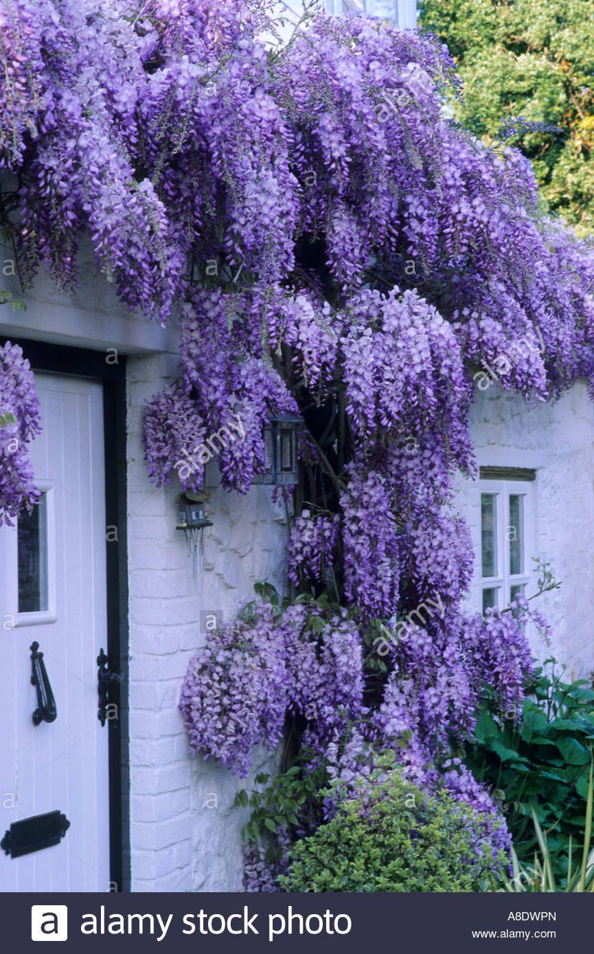 purple flowered climbing plants
