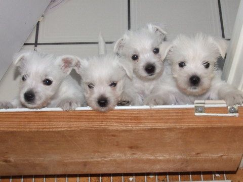 Litter Of 6 West Highland White Terrier Puppies For Sale In North