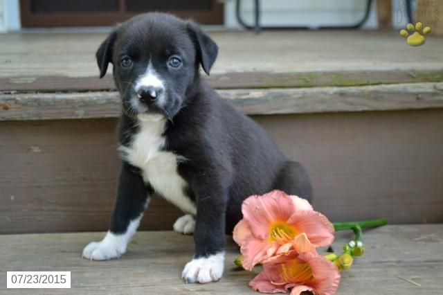 Australian Shepherd Mix Puppy For Sale In Ohio Buckeyepuppies