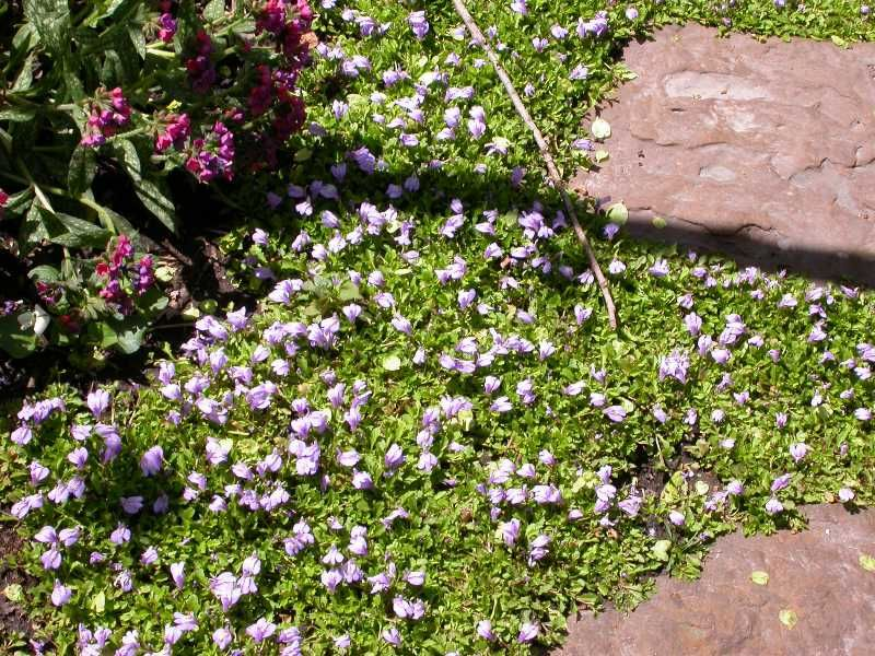 Creeping Mazus Plants Landscaping Plants Ground Cover Plants