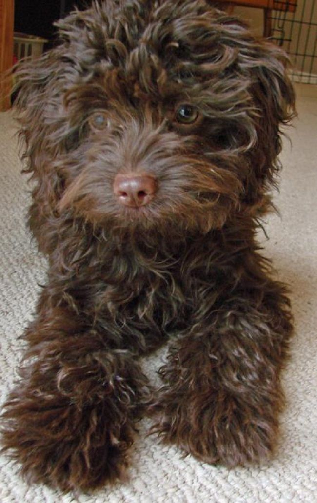 Portuguese Water Dog Brown And White : portuguese, water, brown, white, Brown, Portuguese, Water, Breeds, Portugese, Dogs,